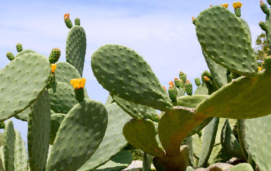 Nopal Cactus Weight Loss