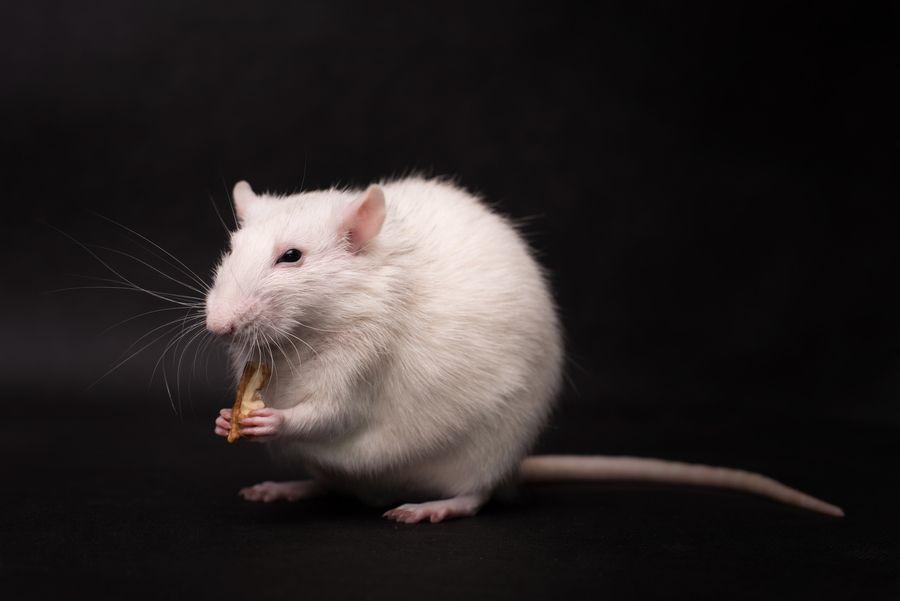 FMT Mice Study